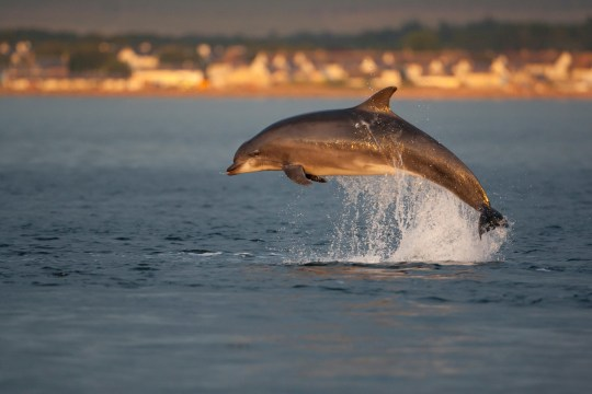 Bottlenose dolphin leaping out the sea