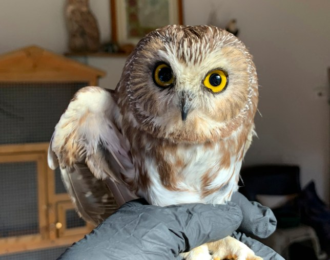 In this photo provided by the Ravensbeard Wildlife Center, Ravensbeard Wildlife Center Director and founder Ellen Kalish holds a Saw-whet owl at their facility in Saugerties, N.Y., Wednesday, Nov. 18, 2020. A worker helping to get the Rockefeller Center Christmas tree in New York City found the tiny owl among the tree's massive branches on Monday, Nov. 16. Now named Rockefeller, the owl was brought to the Ravensbeard Wildlife Center for care. (Lindsay Possumato/Ravensbeard Wildlife Center via AP)
