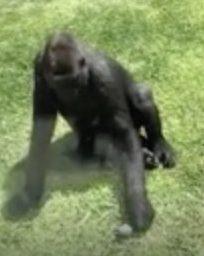 Un oiseau blessé est aidé par un gorille