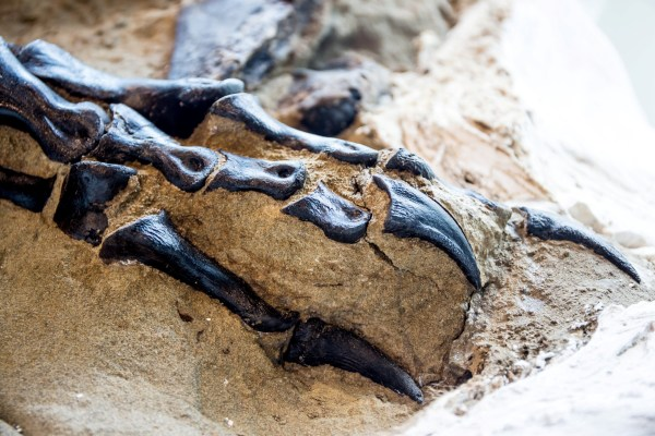 The claws of a dinosaur embedded in a rock