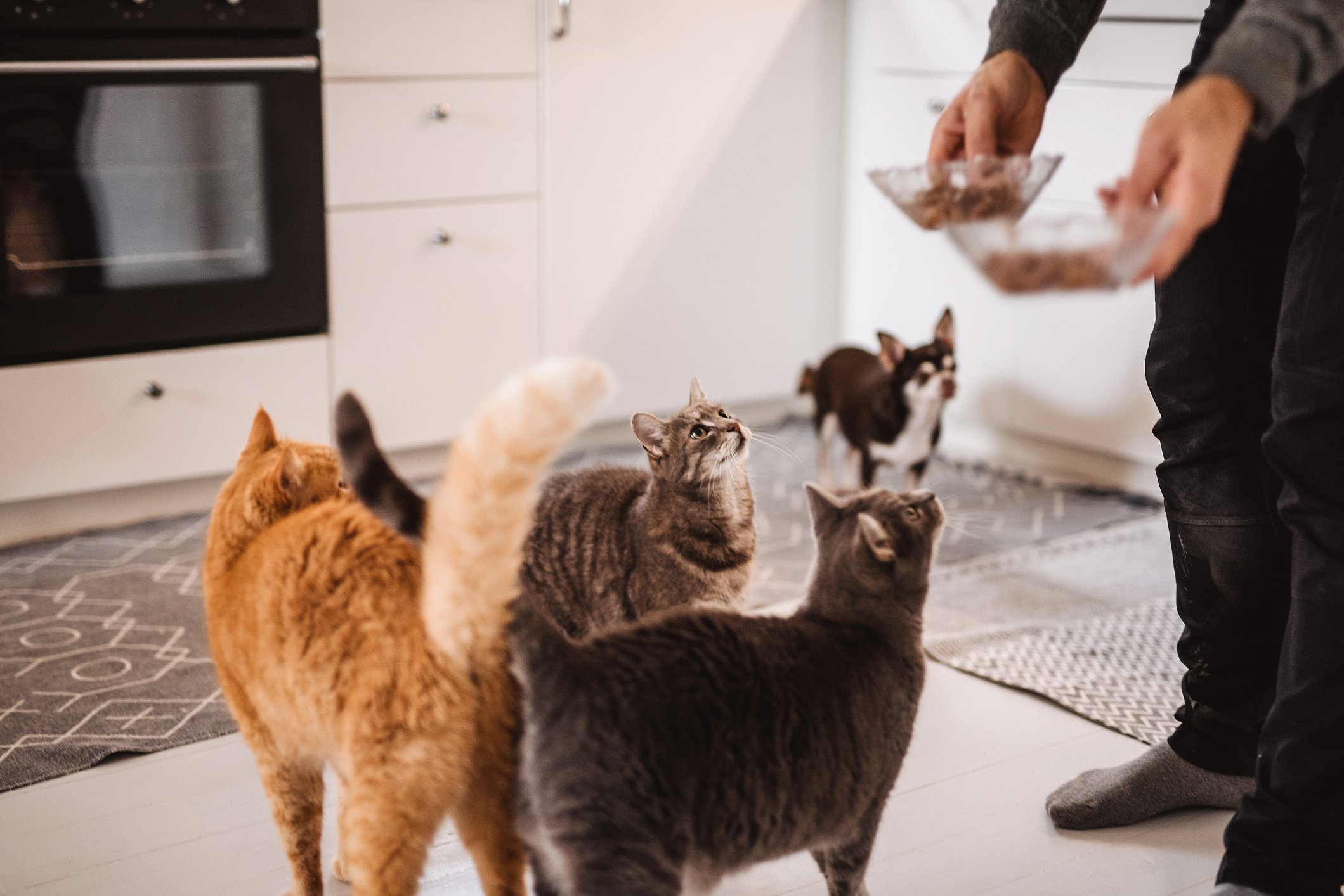 Cats and dog getting food in kitchen Photo taken indoors of 3 cats and a dog getting pet food from owner