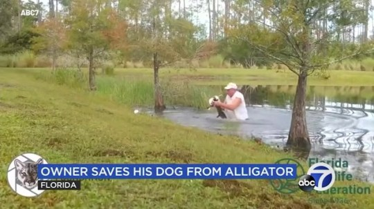 Man saves puppy from alligator in the water - doesn't even take cigar out of his mouth Picture: ABC7