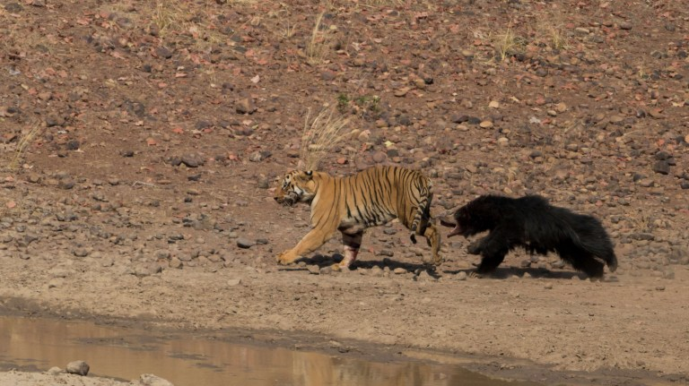 This is the moment a Bengal tiger battled 'the world's deadliest bear' in India.