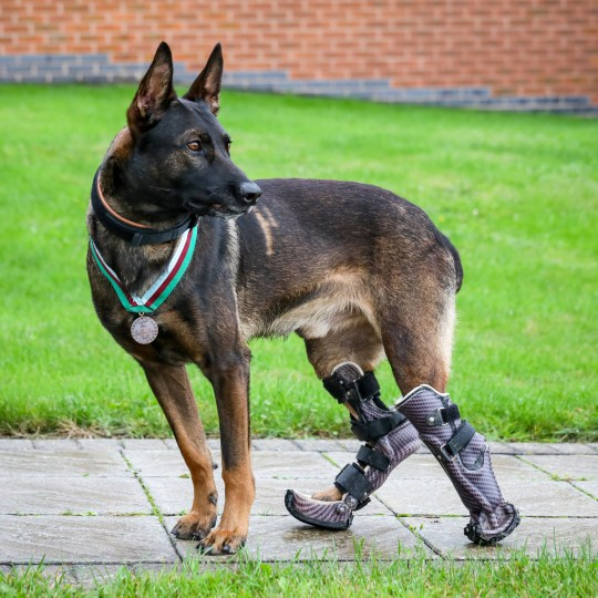 Four-year-old Belgian Shepherd Malinois, Kuno, has been awarded the PDSA Dickin Medal for his bravery and devotion to duty during a raid with British Forces fighting Al Qaeda in 2019 - which led to the part amputation of one of his paws. See SWNS story SWBRdog. A retired Military Working Dog (MWD), who suffered life-changing injuries while supporting British Forces fighting Al Qaeda, has today been awarded the PDSA Dickin Medal* for his bravery and devotion to duty. During the 2019 operation, four-year-old Belgian Shepherd Malinois, Kuno, and his handler were deployed in support of specialist UK and host nation forces on a compound raid against a well-armed and aggressive enemy when they came under attack. Pinned down by grenade and machine-gun fire from an insurgent, the assault force was unable to move without taking casualties. Without hesitation, Kuno charged through a hail of gunfire to tackle the gunman, breaking the deadlock and changing the course of the attack, allowing the mission to be completed successfully. During the assault Kuno was wounded by bullets in both back legs. He was given life-saving treatment by his handler and by medics in the back of a helicopter.