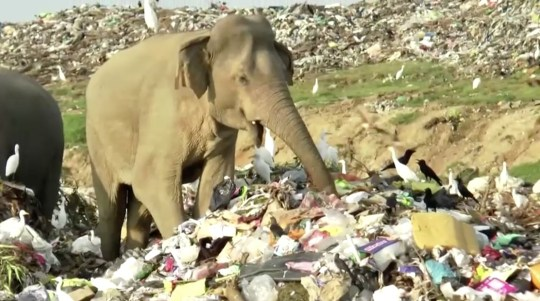 Hungry elephants scavenge for food in Sri Lankan landfill