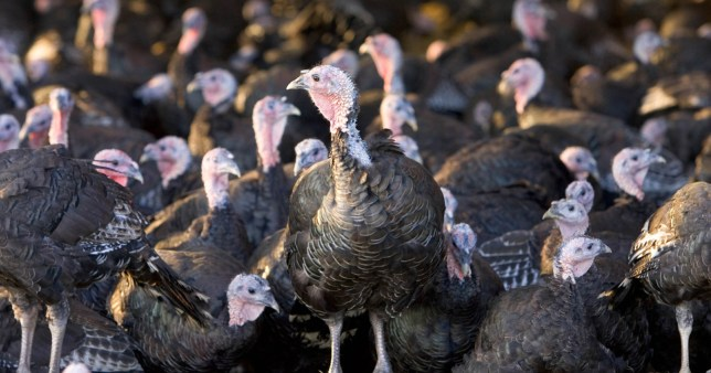 LAMBOURN, UNITED KINGDOM - OCTOBER 17: Free-range Norfolk bronze turkeys inside their barn after roaming at Sheepdrove Organic Farm, Lambourn, England. (Photo by Tim Graham/Getty Images)