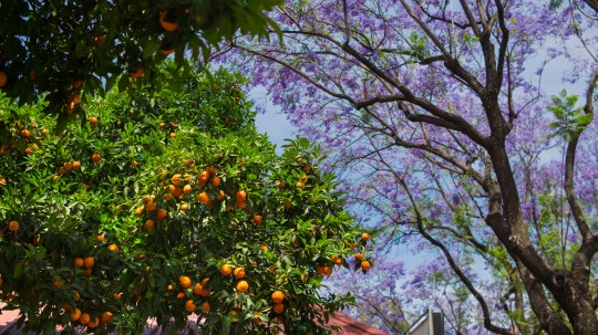 If you know Seville, you'll know that it's synonymous with scent-filled orange trees - and there's so many they have to be seen to be believed (Picture: Andalucia.org)