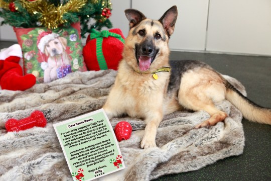 Kelly a German shepherd with her letter to Santa Paws