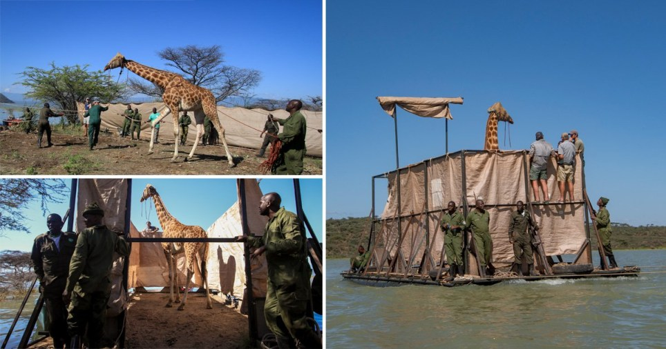 A giraffe has been floated to safety in Kenya after its island habitat was flooded