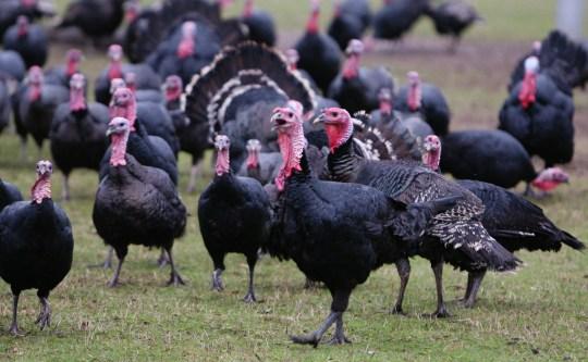 Free-range Norfolk Black organic turkeys