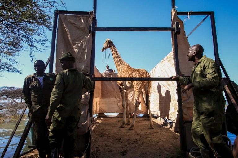 Une girafe de Rothschild en voie de disparition, les yeux bandés pour la garder calme, flotte sur une barge rectangulaire construite sur mesure de l'île Longicharo aux rives est du lac Baringo, pour la sauver de la montée du niveau du lac qui menace son avenir, au Kenya mercredi 2 décembre , 2020. L'opération menée par les organisations de la faune avec l'aide de la communauté locale intervient après que le niveau du lac a commencé à augmenter d'environ 6 pouces par jour, transformant la maison d'origine de la girafe en une île de plus en plus réduite.  Sept girafes restent sur l'île, deux devant être déplacées au cours des prochains jours, et le reste dans les mois à venir, selon Northern Rangelands Trust.  (Northern Rangelands Trust via AP)