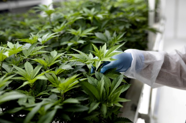 A technician inspects the leaves of cannabis plants growing inside a controlled environment in North Macedonia.