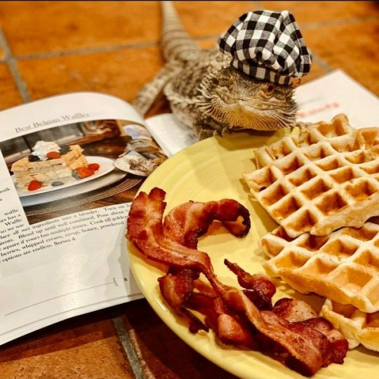 lenny the lizard with his waffles and bacon