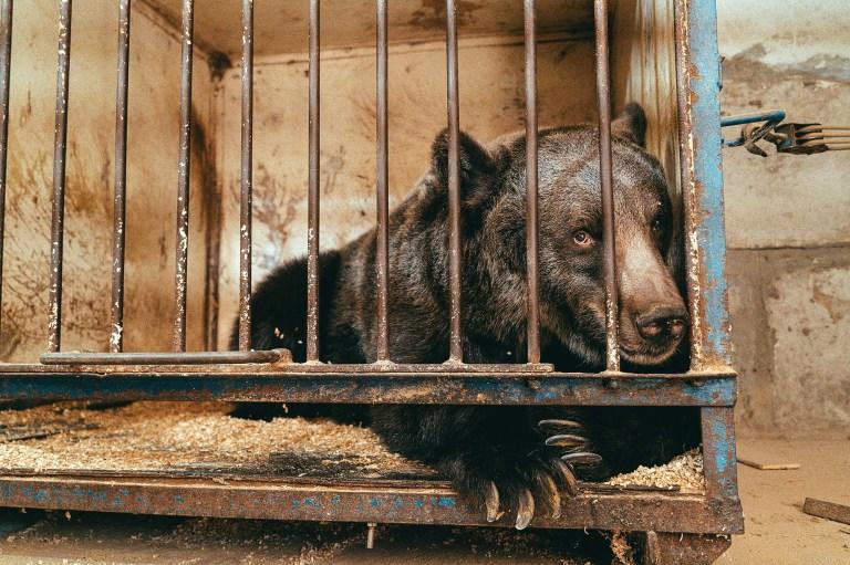 Ancien ours de cirque Jambolina qui était détenu dans une petite cage en Ukraine.  (QUATRE PATTES, Svetlana Dmitrenko / Newsflash)