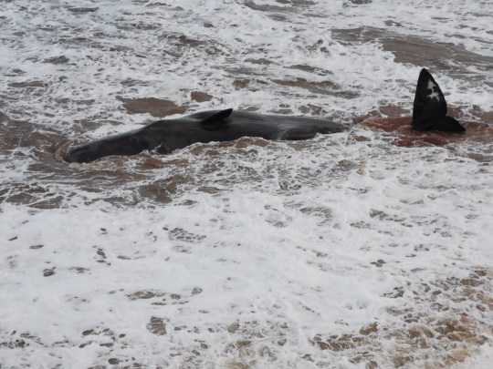 Handout photo issued by British Divers Marine Life Rescue (BDLMR) showing one of group of whales which have been beached on a stretch of coastline between the villages of Tunstall and Withernsea in East Yorkshire. PA Photo. Issue date: Thursday December 24, 2020. See PA story ANIMALS Whales. Photo credit should read: Emily Mayman/PA Wire NOTE TO EDITORS: This handout photo may only be used in for editorial reporting purposes for the contemporaneous illustration of events, things or the people in the image or facts mentioned in the caption. Reuse of the picture may require further permission from the copyright holder.