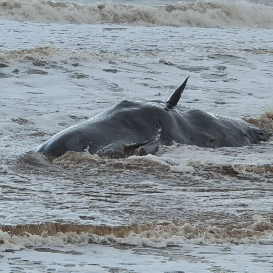 Handout photo issued by British Divers Marine Life Rescue (BDLMR) showing one of a group of whales which have been beached on a stretch of coastline between the villages of Tunstall and Withernsea in East Yorkshire. PA Photo. Issue date: Thursday December 24, 2020. See PA story ANIMALS Whales. Photo credit should read: Emily Mayman/PA Wire NOTE TO EDITORS: This handout photo may only be used in for editorial reporting purposes for the contemporaneous illustration of events, things or the people in the image or facts mentioned in the caption. Reuse of the picture may require further permission from the copyright holder.