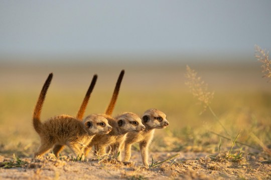 Meerkat Dynasties special