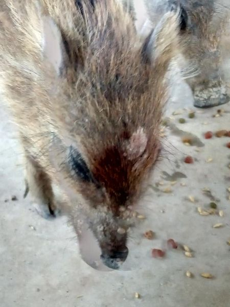 A piglet named Stick with blood on its head after its mother was shot dead by a hunter near Alicante (Picture: Victoria Korpics/@snorkypork)