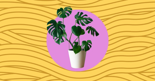 should you water plants with pasta water? image of monstera cheese plant in a pot