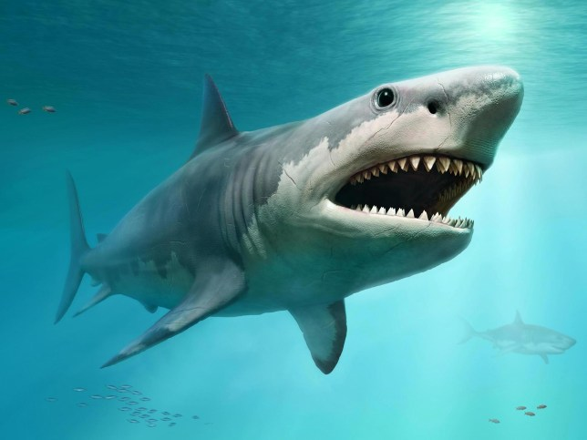 The Megalodon shark lived nearly worldwide roughly 15 to 3.6 million years ago