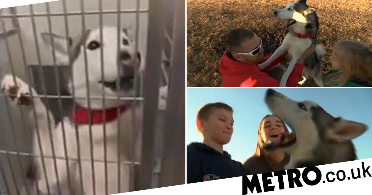 Lost husky howls with joy as he's reunited with family after months on streets