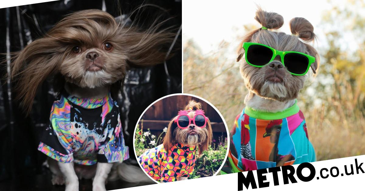 Ducky the ShihTzu wears bunches, braids, top knots and buns