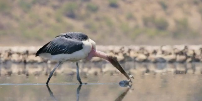 Stork kills baby flamingo in A Perfect Planet