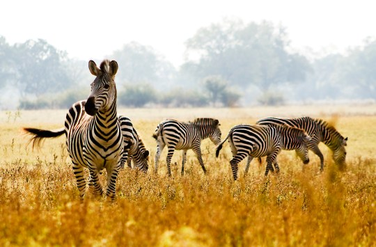 Male crawshay zebra protecting his herd in an open African plain