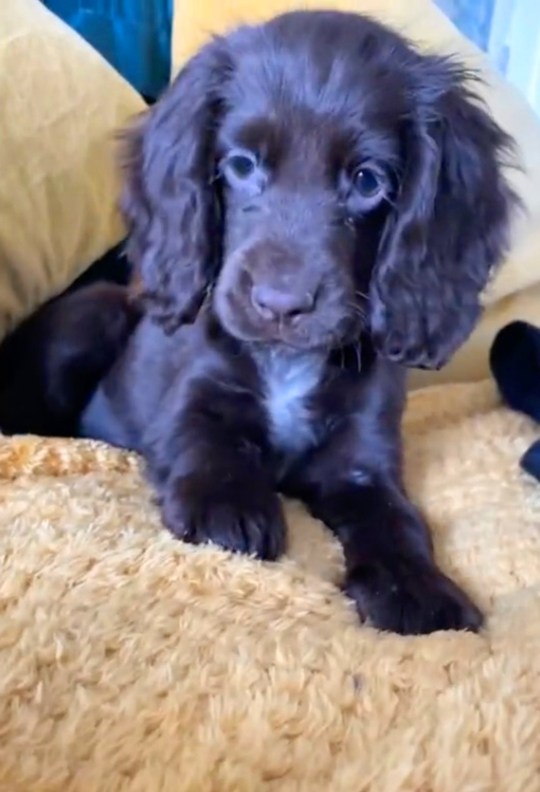Mabel the one-year-old cocker spaniel