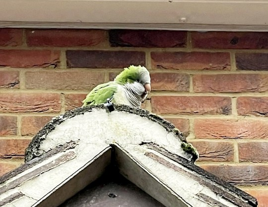 Parrot missing for months flies into schoolgirl's window during online lesson