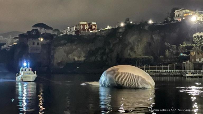 epa08951034 Un document photo mis à disposition par le bureau de presse des garde-côtes italiens (Guardia Costiera) montre les opérations complexes d'enlèvement et de transport d'un spécimen de baleine identifié le 17 janvier dernier, dans le port de Sorrento, dans le sud de l'Italie, le 20 janvier 2021. La délicate activité de remorquage du cétacé a été menée - sous la coordination de la Direction maritime de Naples - par deux patrouilleurs des garde-côtes italiens, qui ont déplacé le spécimen vers le port de Naples, où ils sont arrivés aux premières lueurs de l'aube, après quelques heures de navigation.  Le transport vers le port de Naples permettra la nécropsie nécessaire pour identifier plus précisément les causes de la mort de ce qui semble être l'un des plus gros spécimens de baleine identifiés en Méditerranée.  DOCUMENT À UTILISER ÉDITORIAL UNIQUEMENT / PAS DE VENTES