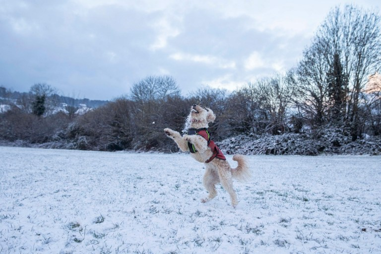 Alamy Live News. 2E4K67C Cardiff, Wales, UK. 24th Jan, 2020. Poppy the labradoodle expertly catches a snowball in a Cardiff park after snow falls across much of the UK. Credit: Mark Hawkins/Alamy Live News This is an Alamy Live News image and may not be part of your current Alamy deal . If you are unsure, please contact our sales team to check.