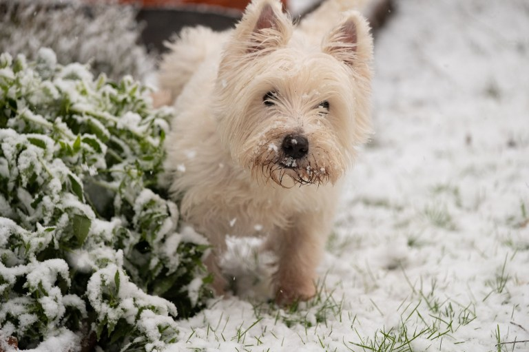 Arthur, a West Highland Terrier, explores the snow in Kew, southwest London, after swathes of the UK woke up to snow and ice this morning, with even the capital getting a dusting of white. Picture date: Sunday January 24, 2021. PA Photo. See PA story WEATHER Winter. Photo credit should read: Martin Keene/PA Wire