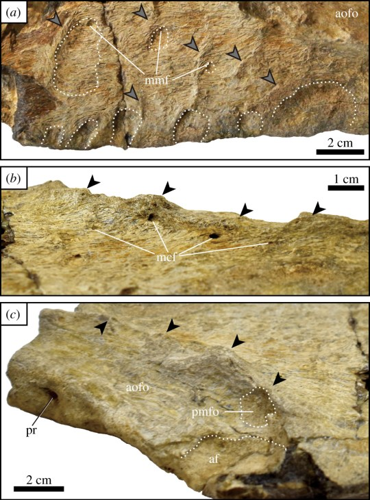 Ridges and depressions on the bone structure show it was similar to a T-Rex (Tanaka et al)
