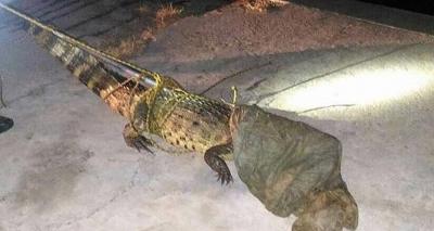 Jacaré de quase dois metros é encontrado em terreno baldio em Juazeiro