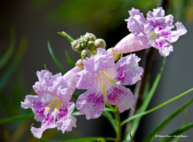 Desert willow blooms look tropical.