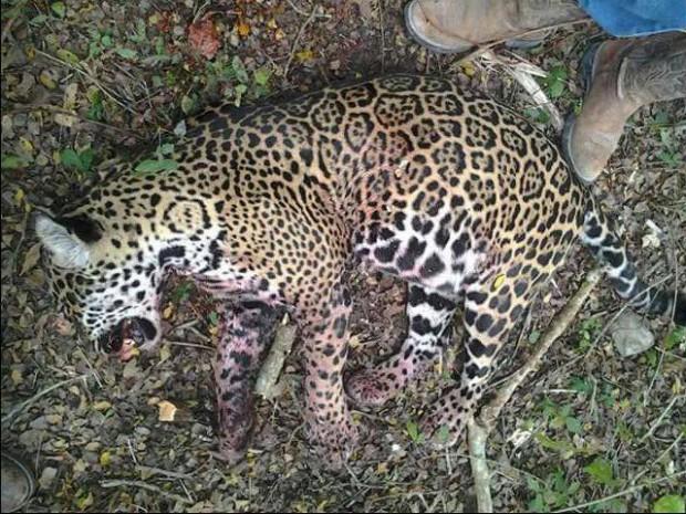 Jaguar asesinado Biosfera