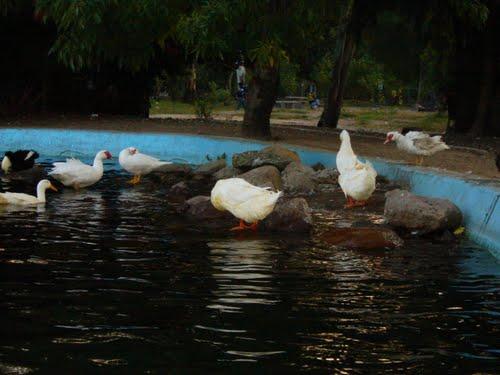 Patos Parque Morales