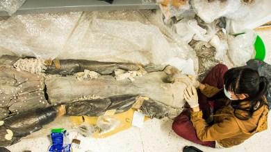 Photo of La UASLP resguarda un mamut de más de 8 mil años