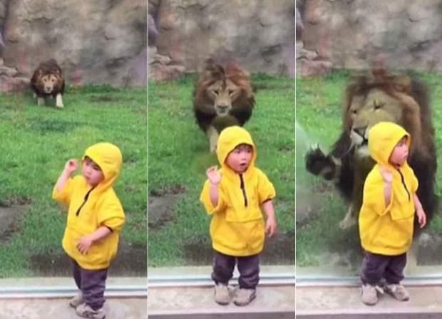 Leon ataca a niño