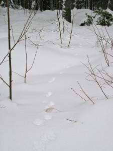 Näädän jäljet lumella