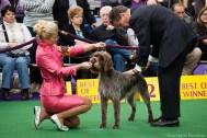 Westminster Kennel Club Dog Show, New York City. / http://www.petsadviser.com/
