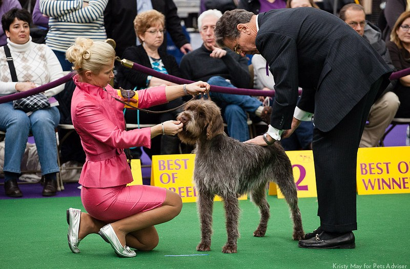 Westminster Kennel Club Dog Show, New York City. / http://www.petsadviser.com/