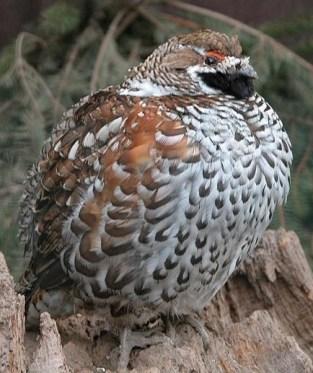 Sangen tukeva pyy (Wikipedia / Photograph/Source: Wilfried Berns/ Tiermotive.de)