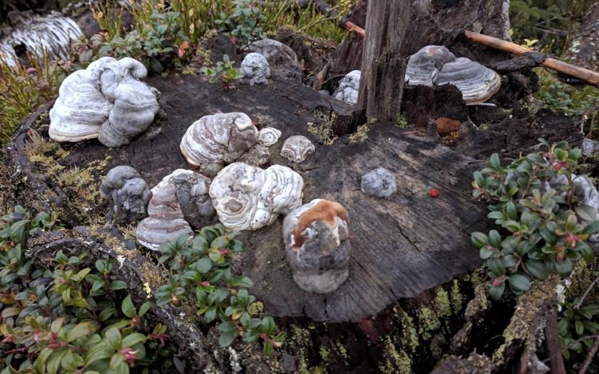Hassuja sieniä kannolla