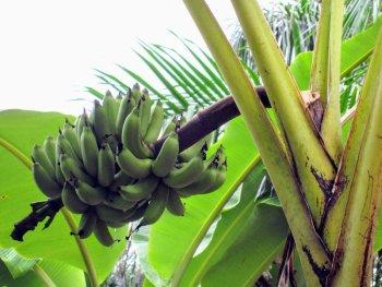 vinales cuba bananplantage