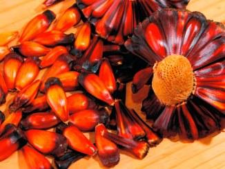 Pinhão ganha mercado na culinária brasileira