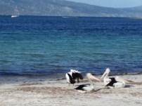 Día 14. Pelícanos cerca de Little Bay
