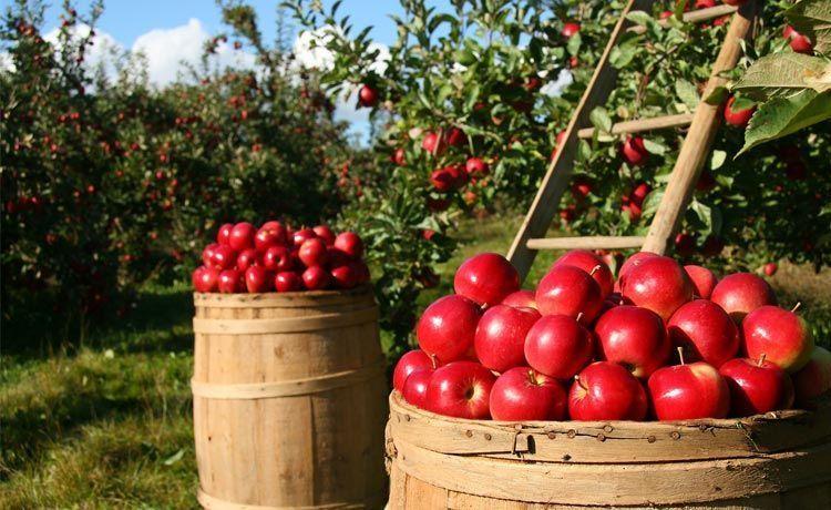 Recogida de la manzana en francia