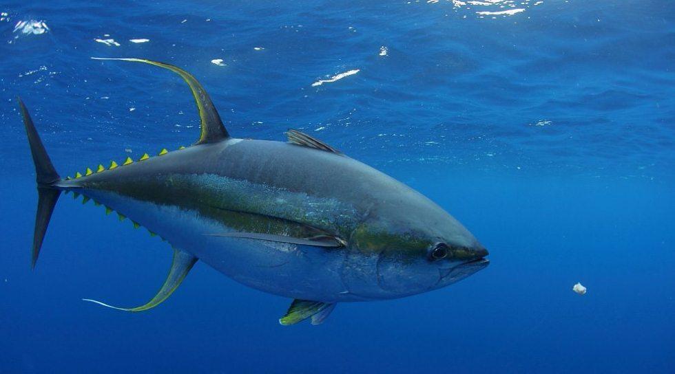 Albacore tuna swimming in the ocean